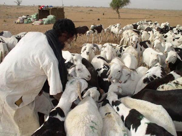 il vole 8 moutons de race bali bali les vend 6500 fcfa chacun pour s 39 acheter un t l phone. Black Bedroom Furniture Sets. Home Design Ideas