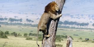 lionf3