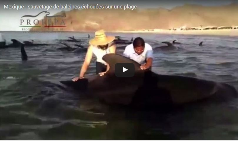 Vidéo : Sauvetage de baleines échouées sur une plage au Mexique