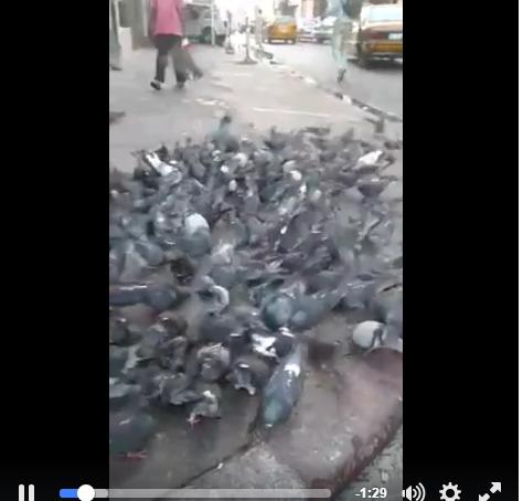 Vidéo: cet handicapé nourrit les pigeons. Regardez