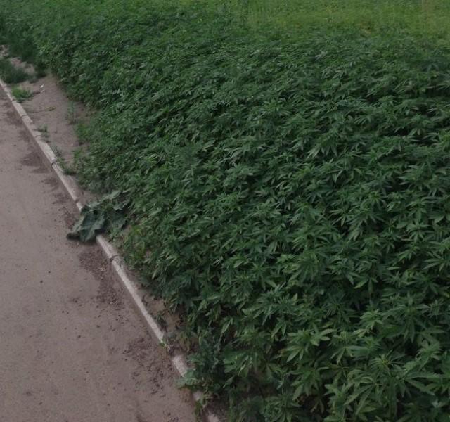 La mairie de Moscou se trompe de semis et plante du Yamba