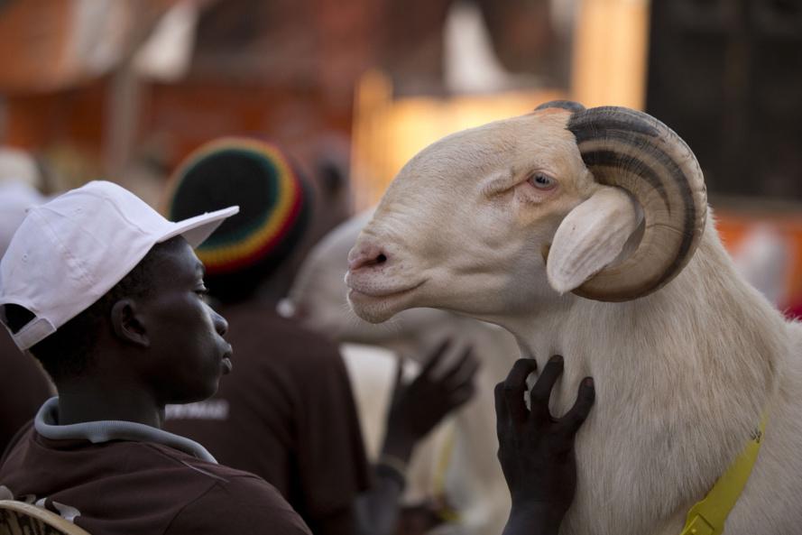 Ladum, Matam, moutons géniteurs, Saint-Louis, Tambacounda, Toubabir, Ziguinchor