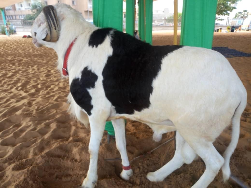 4 1 - Tabaski : Le président offre un joli mouton à l'imam de Massalikoul Djinane